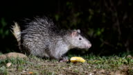 The Brush-tailed Porcupine video
