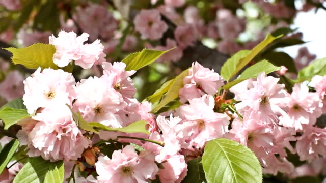 The buds of pink cherry blossoms close-up video