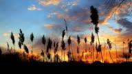 The bulrushes against sunlight over sky background video
