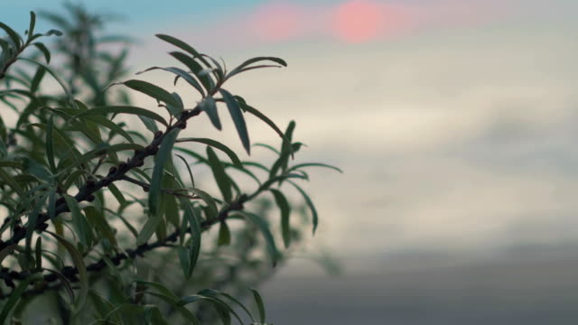 The bush Hippophae rhamnoides swaying in the wind against the backdrop of the autumn stormy sea, sunset clouds. Russia, the stormy sea video