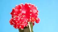 The cactus gymnocalycium mihanovichii variegata rotates round an axis video