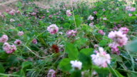The camera moves with steadicam over wet clover. Water droplets lie on the clover leaves. Recently, a shower of rain. video
