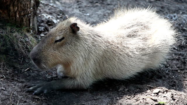 The capybara (Hydrochoerus hydrochaeris) video