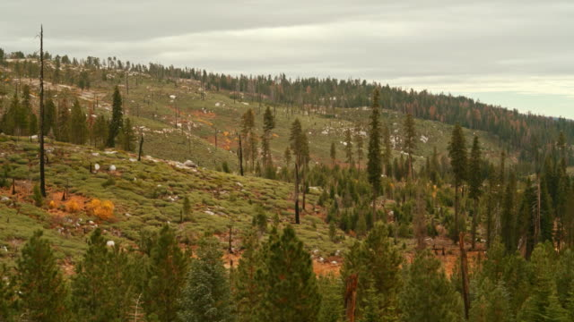 The cedar forest in the Yosemite National Park, Sierra Nevada Mountains, with the signs of the past wildfire. video