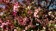 The cherry bloom flowers  4K FS700 Odyssey 7Q video