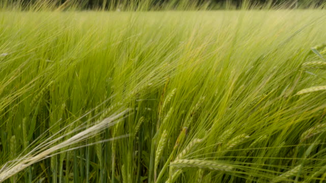 The closer look of the grains of the barley plant video