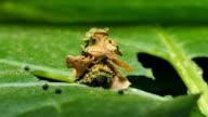 The Common Bag Moth, caterpillar larvae. video