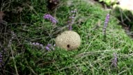 The Common Puffball or Devil's Snuff-box in green moss. video
