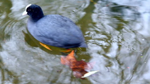The Coot, bird in water video