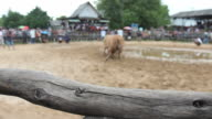 the cow collision sport HD1080p video