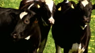 The cows in the field looking for something to eat 4K FS700 Odyssey 7Q video