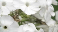The crab spider crawling on the white flower video