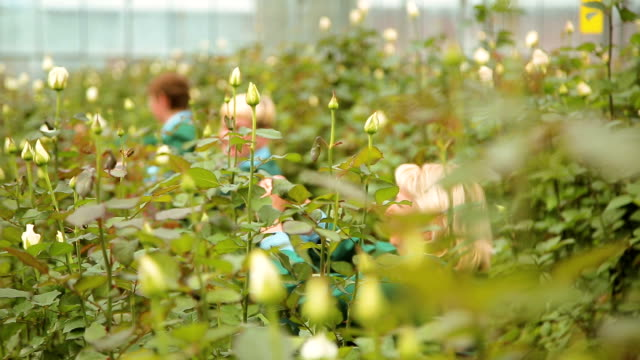 The cultivation and care of Dutch roses video