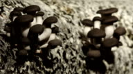 The Cultivation of Mushrooms at Home Farm. Oyster mushrooms 7 video