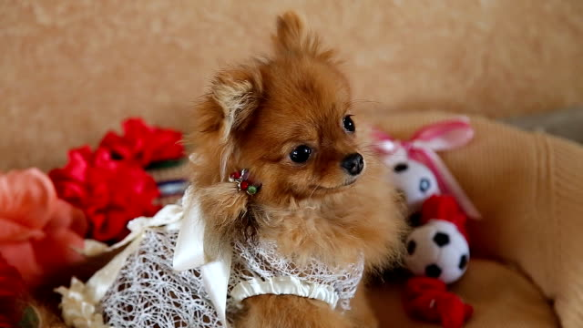 The cute Pomeranian dog video