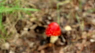 The danger mushroom fly agaric Amanita muscaria blurred to sharp video