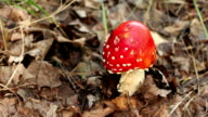 The danger red mushroom fly agaric Amanita muscaria panning video