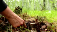 The discovery of Russula delica mushroom brittlegill by mushroomer in forest video