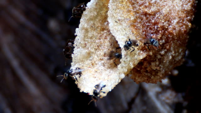 The distinctive wax tube at a nest entrance of stingless bees video