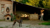The dog is guarding the barn in the stable video