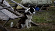 The dog near the entrance to the chum in the tundra. video