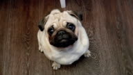 The dog Pug looking into camera video