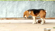 The dog scratch its fleas in Thailand. video