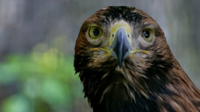The eagle looks around. Close-up video