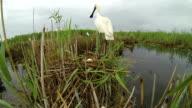 The Eurasian Spoonbill video