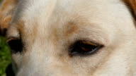 The eyes of the Labrador dog video