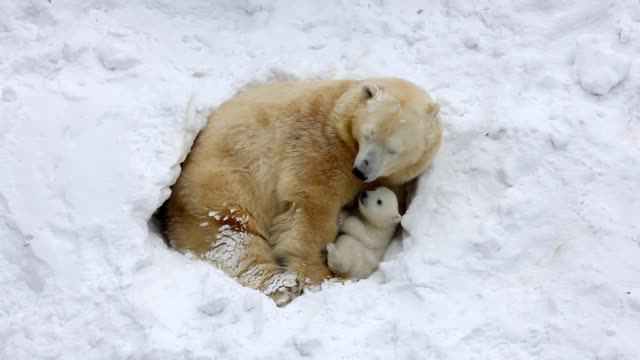 The family of polar bears digs a den. The happy bear cub plays with mother. video