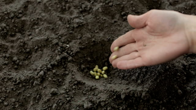 The farmer bury the beans in the ground video