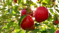 The farmer is harvesting apples of the Fuji variety. video