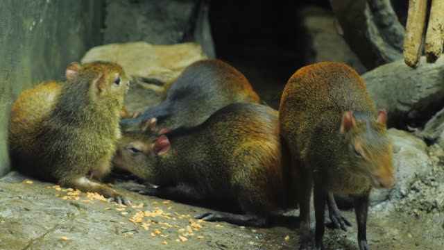 The female Brazilian Agouti feeds the young with milk video