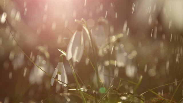 CLOSE UP The first spring flowers snowdrops during the rainfall on sunny morning video