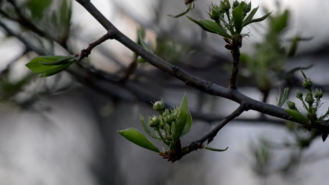The flower buds on the branch of a pear tree. Selective focus. video