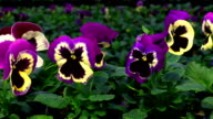 The Flowers of Pansy in a Greenhouse . Growing Ornamental and Flowers for Landscape Design and Gifts video