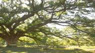 The Giant Monkey Pod tree video