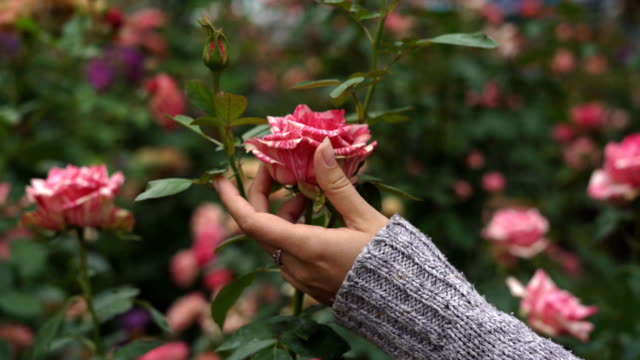 the girl strokes her fingers with a gentle pink striped rosebud. natural large flower in the garden video