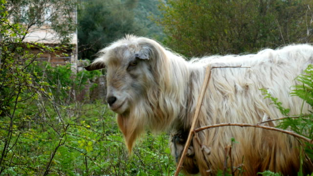 The goat grazes in the grass. Farm in Montenegro video