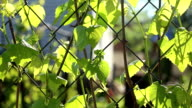 The grape leaves on a fence netting video