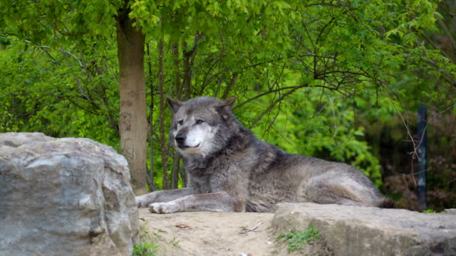 The gray colored big dog lying on the rock video