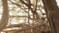 The Great Banyan Tree Forest video