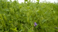 The green pea plants with pea pods video