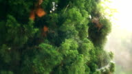 The Green Pine Trees video