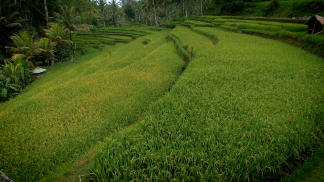 the green plantation rice field view with small wooden houses, which is spread along the principle of steps and is situated in a tropical forest video