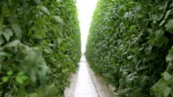 The greenhouse complex for growing tomatoes video