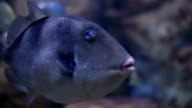 The grey triggerfish video