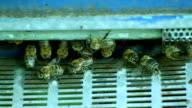 The Group of Bees in The Hive video