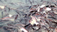 The group pangasius fish video